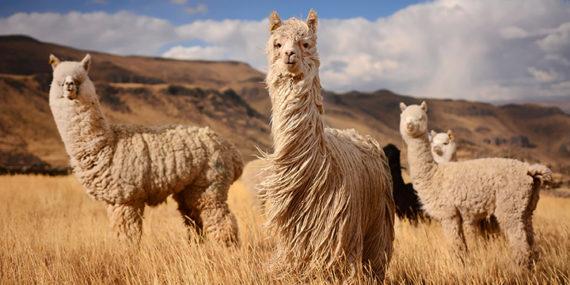Alpaki w Andach